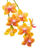 Blooming twig of unusual spotted orange orchid, phalaenopsis is Stock Images