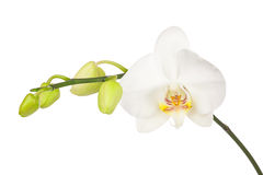 Blooming twig of white orchid isolated on white background. Stock Photography