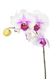 Blooming twig of white purple orchid isolated on white backgroun Stock Photography