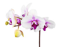 Blooming twig of white purple orchid isolated on white backgroun Stock Images