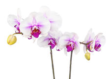 Blooming twig of white purple orchid isolated on white backgroun Royalty Free Stock Image