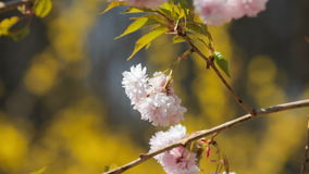 Blooming twig. In the wind stock video footage