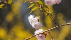 Blooming twig stock video footage