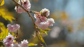 Blooming twig. In the wind stock footage