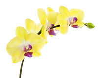 Blooming twig of yellow purple orchid isolated on white backgrou Royalty Free Stock Photography