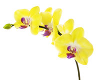 Blooming twig of yellow purple orchid isolated on white backgrou Stock Image