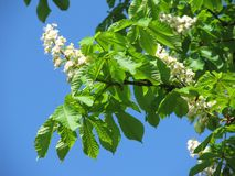 Blooming twigs of chestnut tree Stock Images