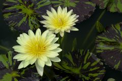 The blooming two white lotus and yellow pollens. stock photography