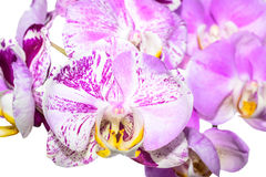 Blooming unusual purple and  lilac orchid is isolated on white Royalty Free Stock Image
