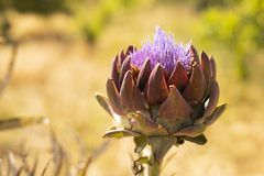 Blooming vegetable plant artichoke in summer garden stock images