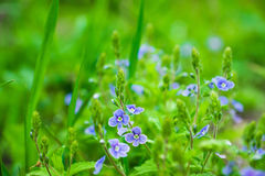 Blooming Veronica Officinalis flower. Shallow depth of field Royalty Free Stock Image