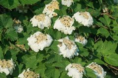 Blooming white viburnum in sunny day. Spring time blossom stock photo