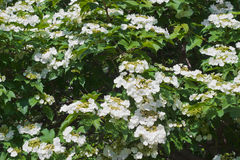 Blooming viburnum Royalty Free Stock Images