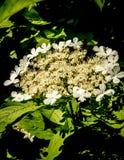 Blooming viburnum Stock Image