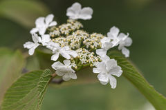 Blooming viburnum close up Stock Photo