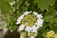 Blooming Viburnum Opulus. White Flowers Of A Guelder Rose Shrub. Medicinal And Ornamental Plant Royalty Free Stock Images
