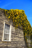 Blooming vine on house Stock Photos