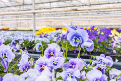 Blooming viola flowers in a greenhouse Stock Photos