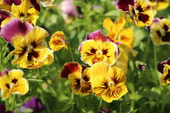 Blooming viola in the garden Stock Image