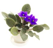 Blooming violet Stock Images