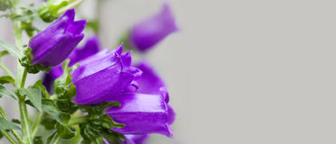 Blooming violet bellflowers on gray background. Beautiful Campanula plant ornamental frame, copy space photo Stock Image