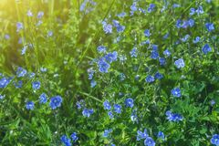 Blooming violet blue in green grass. In the Park, in the garden Stock Photo