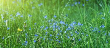 Blooming violet blue in green grass. In the Park, in the garden Royalty Free Stock Photo
