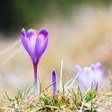 Blooming violet crocuses Stock Images
