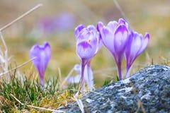 Blooming violet crocuses Royalty Free Stock Image