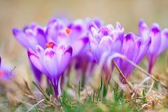 Blooming violet crocuses Royalty Free Stock Photos