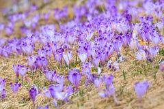 Blooming violet crocuses Royalty Free Stock Images