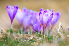 Blooming violet crocuses Stock Image
