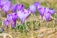 Blooming violet crocuses Royalty Free Stock Photos