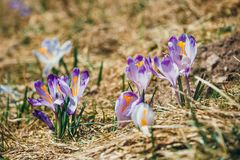 Blooming violet crocuses in Tatra Mountains Royalty Free Stock Photography