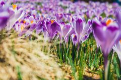 Blooming violet crocuses in Tatra Mountains Royalty Free Stock Photos