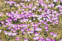 Blooming violet crocuses in Tatra Mountains Royalty Free Stock Photo