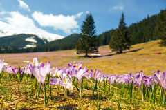 Blooming violet crocuses in Tatra Mountains Stock Images