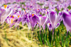 Blooming violet crocuses Royalty Free Stock Images