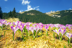 Blooming violet crocuses in Tatra Mountains Royalty Free Stock Image