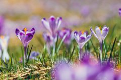 Blooming violet crocuses in Tatra Mountains Royalty Free Stock Images