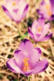 Blooming violet crocuses Stock Image