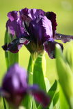 Blooming violet iris Stock Photos