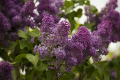 Springtime: blooming lilac with wonderful green foliage royalty free stock photo