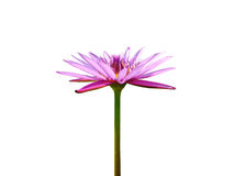 Blooming violet lotus flower. On white backgroud Royalty Free Stock Images