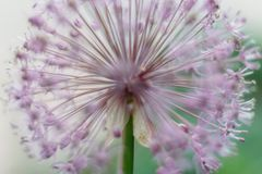 Blooming violet onion plant in garden. Flower decorative onion. Close-up of violet onions flowers on summer field.. Violet allium. Blooming violet onion plant in Stock Images