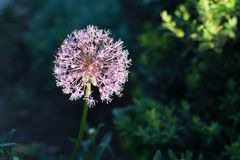 Blooming violet onion plant in garden. Flower decorative onion. Close-up of violet onions flowers on summer field.. Violet allium. Blooming violet onion plant in Royalty Free Stock Photos