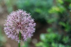 Blooming violet onion plant in garden. Flower decorative onion. Close-up of violet onions flowers on summer field.. Violet allium. Blooming violet onion plant in Royalty Free Stock Photography