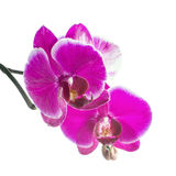 Blooming violet orchid with bandlet is isolated on white backgro Stock Image
