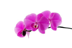 Blooming violet orchids Stock Photography
