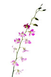 Blooming violet orchids Stock Image
